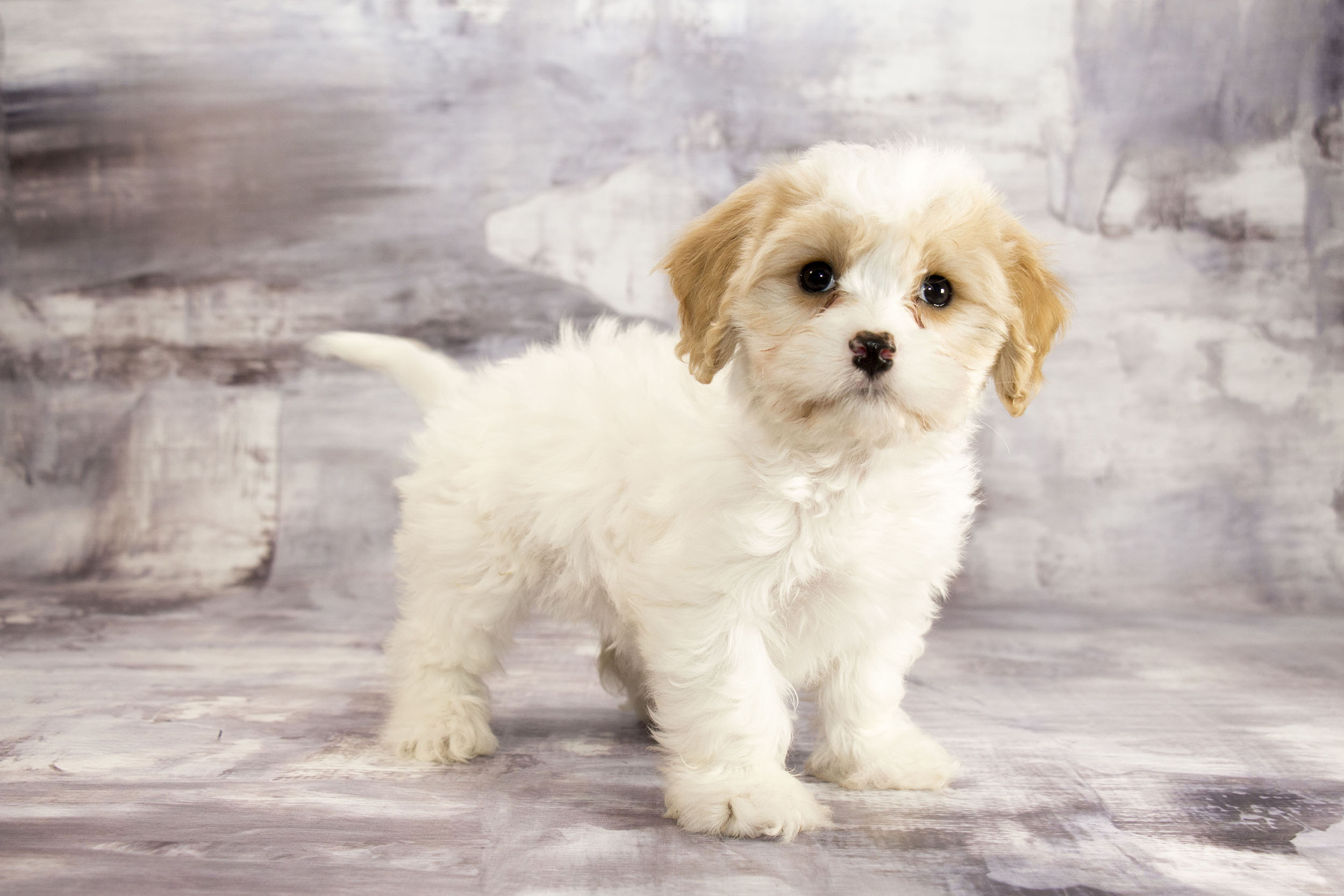 Selling Popular Designer Breeds Queens Ny Cavachon