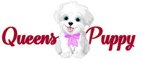 Puppies Sale Queens Ny Nyc Brooklyn Bronx Shih Tzu Bichon Frise